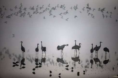 a-flock-of-migrating-cranes-seen-at-the-hula-lake-ornithology-and-nature-park-in-northern-israel