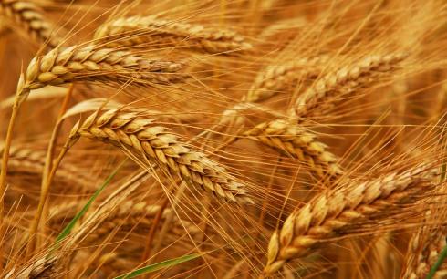 blog-wheat