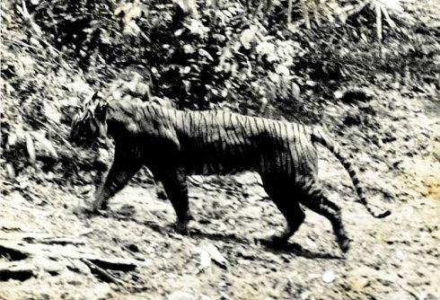 panthera_tigris_sondaica_01